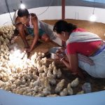Poultry intervention in Dudhnoi and Khowai, Assam